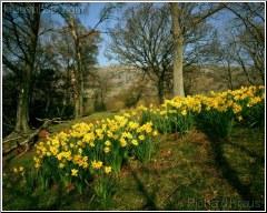 Lakeland Daffodils